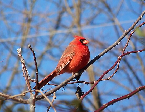 A male Northern Cardinal braving the cold. by William Brennan