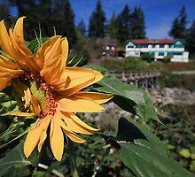 Shy Sunflower by Anne McKinnell