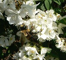 Bee on Deutzia bush by MischaC