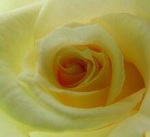 The Beauty of a Rose by binjy