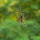 Garden Spider by Rowan  Lewgalon