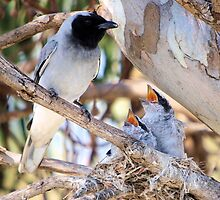 Black Faced Cuckoo Shrike by John Peel