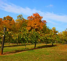 Vineyard in the fall by Robert Woods