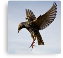 Starling Ballet Canvas Print