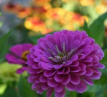 Purple Zinnia Flower by PhotoCrazy6