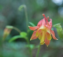 Red Columbine by Cathy Jones