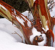 Snowgum bark trunk in snow by Speedy