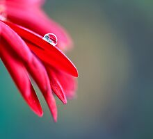 One and Only - Gerbera Macro with Drop of Dew on a Petal by Doug Chinnery