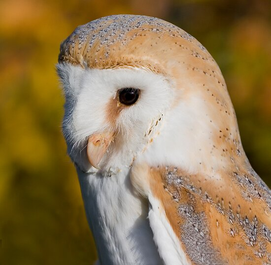 Barn Owl by Geoff Carpenter