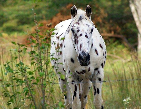 Beautiful Appaloosa Horse Appaloosa Appaloosa Horses
