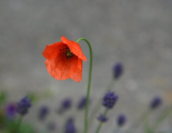 Poppy and Lavender #2 by coffeebean