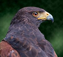 Harris Hawk by Krys Bailey