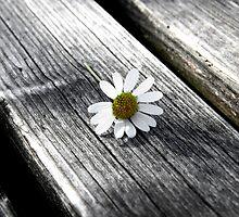 daisy by Cornelia Togea