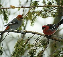 """  Pine Grosbeaks  "" by fortner"
