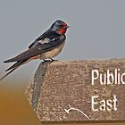 Barn Swallow posing at Minsmere by Hugh J Griffiths