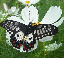 Dainty Swallowtail (Papilio anactus) on Cosmos by PinkDinoDesigns