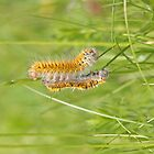 Grass Eggar moth caterpillar mirrored with shed skin by Hugh J Griffiths