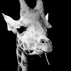 black and white giraffe by rosscaughers