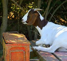 A Goat And An Orange Box by coffeebean