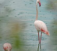 Flamingo - Arusha National Park, Tanzania  by Adrian Paul