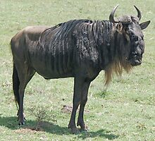 Blue Wildebeest, Ngorongoro Crater, Tanzania, Africa by Adrian Paul