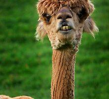 Alpacas by Carol Dawes