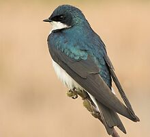 Tree Swallow by Wayne Wood