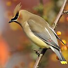 Waxwing Extravaganza by Kenneth Haley