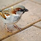 Sparrow by gillyisme53