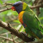 Lorikeet Loner by ScenerybyDesign