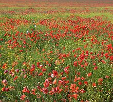 Poppies by JEZ22