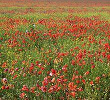 Poppies by JEZ22