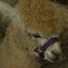 Alpaca..Up close and  personal by judygal