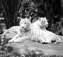 Two  White Siberian Tigers  by brevans
