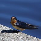 Barn Swallow with some nest materials. by William Brennan