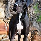 Boo the Great Dane by Charlotte Reeves