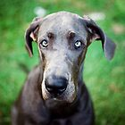 Luna the Great Dane by Charlotte Reeves
