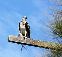 Osprey with his Catch by byronbackyard