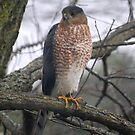 Cooper's Hawk by Catherine Sherman