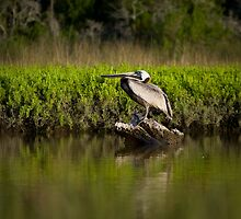 Brown Pelican by Christopher Westcott