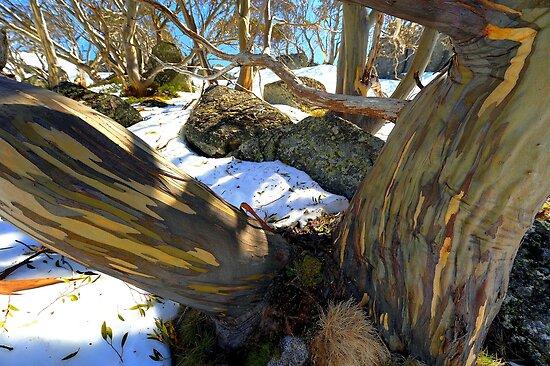 Alpine Eucalypt  Charlotte Pass .NSW. by helmutk