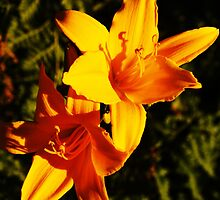 Sunset Lilies by ElyseFradkin