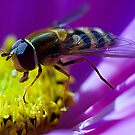 Hover fly on Cosmos by Patriciakb
