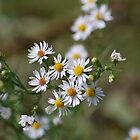 Panicled Aster by deb cole