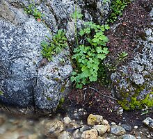 Columbine and Stone, Ruby Valley, Nevada by Alan C Williams
