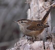 Marsh Wren by tomryan