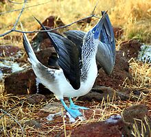 Blue-footed Booby: Mating Dance by Laurel Talabere