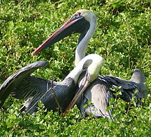 Brown Pelicans: A Romantic Moment by Laurel Talabere