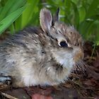 Sweet Baby Bunny by NatureGreeting Cards ccwri