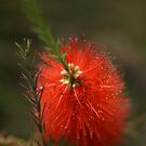 Soft Bottlebrush by Joy Watson